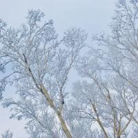 白樺と雪のコラボ!